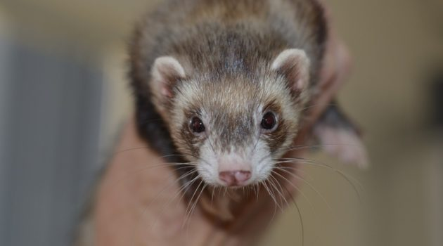 Things to Know Before You Buy a Ferret